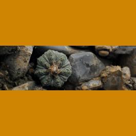 Aztekium ritteri f.intercostatum aff. GCG 10001 Sierra Juculianes, NL (10 SEEDS)