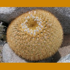 Eriosyce aurata  MKR 802 Hurtado, Chile (10 SEEDS)