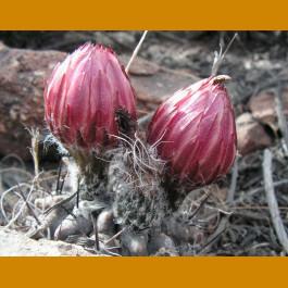 Pyrrhocactus jussei MKR 826 Higuera, Chile (10 SEEDS)