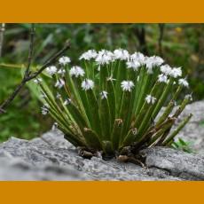 *Agave albopilosa aff. GCG 9923 El Pajonal, Canon de Huasteca, NL  (PLANT 4-6 leaves)