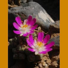 Aztekium valdezii W of Linares, NL (10 SEEDS)