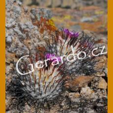 Mammillaria perezdelarosae f. GCG 10860, Tapias Viejas II.,Ags. (10 SEEDS)