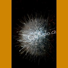 Mammillaria senilis GCG 10859, Ameca Vieja, Zac. (10 SEEDS)
