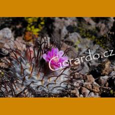 Mammillaria perezbomba f. Plein GCG 10871, N part of Aguascalientes (10 SEEDS)