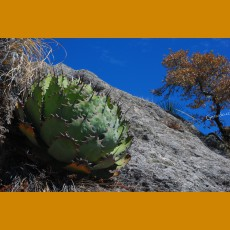 Agave verschafeldtii ssp.potatorum  SELECTION GCG 10913, Concepcion Buenavista, Oax. (100 SEEDS)