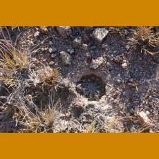 Echinocereus pulchellus ssp.acanthosetus GCG 9742 (10 SEEDS)