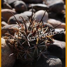 """Sclerocactus parviflorus """"reversii"""" GCG 10470 Navajo Dam, San Juan Co.,NM (10 SEEDS)"""