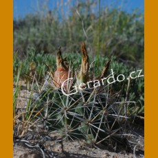 Sclerocactus wrightiae GCG 10444 Lone Tree Cross, Emery Co.,Ut. (10 SEEDS)