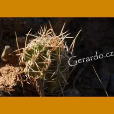 Echinocereus fendlerii GCG 10471 Navajo Dam, San Juan Co.,NM (10 SEEDS)