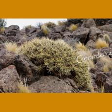 Maihuenia patagonica JV 14 Zapala, Nevguen, Arg. (10 SEEDS)