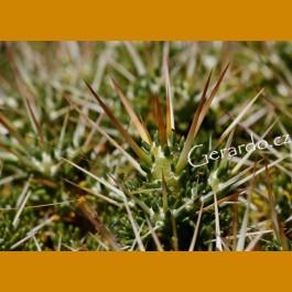 Maihuenia patagonica JV 24 Ranguil del Norte, Arg. (10 SEEDS)