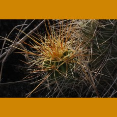 Echinocereus coccineus rosei BW 125, W of Carrizozo, Lincoln Co, NM  -12C  (10 SEEDS)