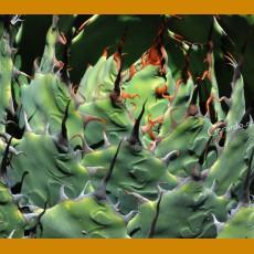 Agave verschafeldtii ssp.potatorum  SELECTION GCG 10913, Concepcion Buenavista, Oax. (10 SEEDS)