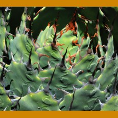 Agave verschafeldtii ssp.potatorum  SELECTION GCG 10913, Concepcion Buenavista, Oax. (10 SEEDS)