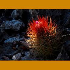 Melocactus borhidii GCG 9904 30,8km of Imias, near San Antonio del Sur, Cu.