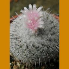 Epithelantha unguispina , orig. micromeris ex Rys (10 SEEDS)
