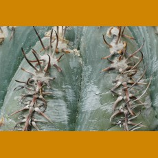 Echinocactus horizonthalonius ssp.subikii VM 324, La Zorra, Mpo.Dr.Arroyo,NL (10 SEEDS)