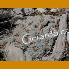 Lophophora williamsii, VM 746, Camargo,Chih. (10 SEEDS)