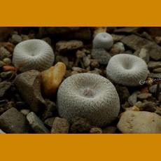 Epithelantha bokei f.most southern locality, VM 792, Sierra Jicote, N of Matehuala,SLP (10 SEEDS)