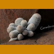Epithelantha polycephala, VM 734, N of Saltillo, Coah. (10 SEEDS)