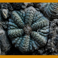 *Aztekium ritterii f.rotundum GCG  10005 El Barreal,NL  (PLANT 0,5 - 1 cm)