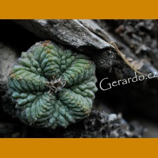 *Aztekium ritterii f.pentacostatum GCG 10002 Sra.Animas,NL  (PLANT 0,5 - 1 cm)