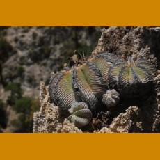 *Aztekium hintonii GCG  9763, 2km before Rio San Jose, NL  (PLANT 0,5 - 1 cm)