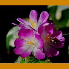 *Aztekium valdezii W of Linares, NL (PLANT 0,7-1 cm) SEEDLINGS
