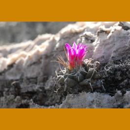 Turbinicarpus nikolae NEW SPECIES, TL, GCG 10892, San Pedro, SLP (10 SEEDS)