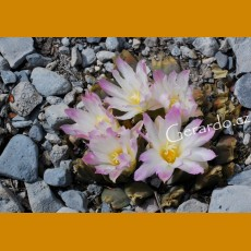 Ariocarpus retusus ssp.confusus f. bicolor GCG 10952, E of La Escondida, NL, lovely multicolored flowers form (10 SEEDS)