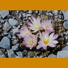 Ariocarpus retusus ssp.confusus f. bicolor GCG 10952, E of La Escondida, NL, lovely multicolored flowers form (10 SEEDS)