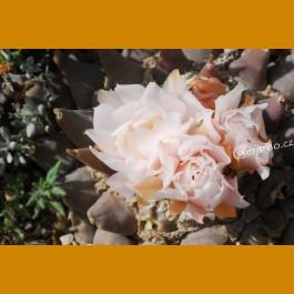 Ariocarpus retusus ssp.confusus f. retusus aff. GCG 10954 W of La Escondida, NL (10 SEEDS) new