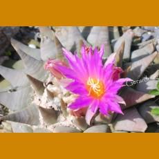 *Ariocarpus retusus ssp.confusus PP 391 Dolores, Aramberi,NL (PLANT 1,5-2,5cm)