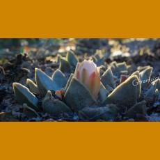 Ariocarpus retusus `pulcherrimus´ GCG 10950 Miguel Hidalgo - Lucio Vasquez, Mpo.Tula, Tamp.  (100 SEEDS) rare form