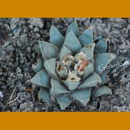 Ariocarpus retusus `pulcherrimus´ GCG 10950 Miguel Hidalgo - Lucio Vasquez, Mpo.Tula, Tamp. (10 SEEDS) rare form