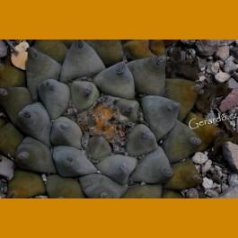 Ariocarpus retusus `magnificus´ GCG 10943 La Morrita - Tanque de Los Angeles, SLP (10 SEEDS)