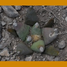 Ariocarpus retusus `magnificus´ GCG 10943 La Morrita - Tanque de Los Angeles, SLP (100 SEEDS)