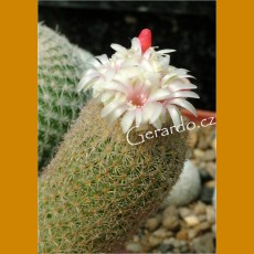 *Epithelantha polycephala PM N of Ramon Arizpe, km 15/Mex 57, 1663m (PLANT 1cm)