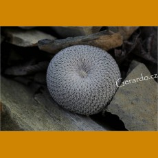 Epithelantha ilariae VM 551 Abasolo, Coah (10 SEEDS)