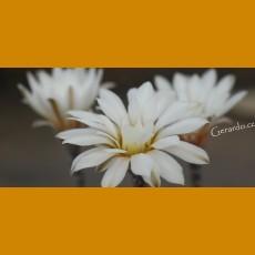 *Gymnocalycium ragonesii HV 888 (PLANT 1-2cm)
