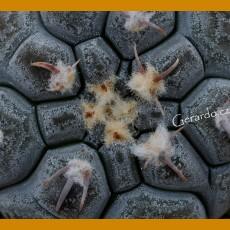 *Gymnocalycium prochazkianum 9/189 (PLANT 1-2cm)