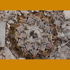 Ariocarpus fissuratus ssp.fissuratus GCG 10937 before Purtecitos, W of Ocampo, Coah., nice silver skin (10 SEEDS)