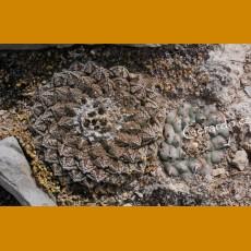 Ariocarpus fissuratus ssp.fissuratus GCG 10937 before Purtecitos, W of Ocampo, Coah. , nice silver skin (100 SEEDS)
