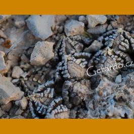 Ariocarpus fissuratus ssp.fissuratus f. GCG 10932 1.5km before Tres Marias, Mpo.Manuel Benavides, Chih. (10 SEEDS)
