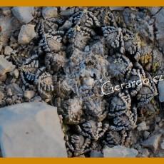Ariocarpus fissuratus ssp.fissuratus f. GCG 10934, 1km past Tres Marias, Mpo.Manuel Benavides, Chih. (100 SEEDS)