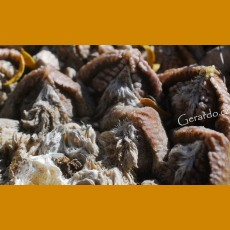 Ariocarpus fissuratus ssp.fissuratus f. GCG 10936, E of El Saucito, Sra.Grande, Coayame, Chih. (10 SEEDS)
