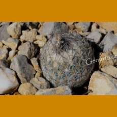 Echinomastus mariposensis GCG 10931, 1.5km before Tres Marias, Mpo.Manuel Benavides, Chih.  (10 SEEDS)