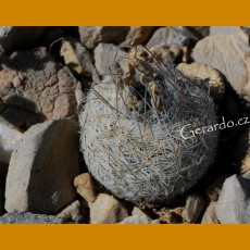 Echinomastus mariposensis GCG 10933 1km past Tres Marias, Mpo.Manuel Benavides, Chih. (10 SEEDS)