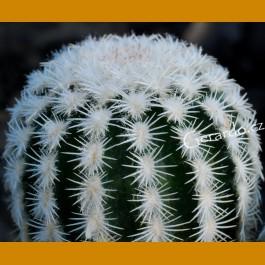 Echinocereus reichenbachii SB 941 Keer Co., Tx. (10 SEEDS) - f. bright white spines