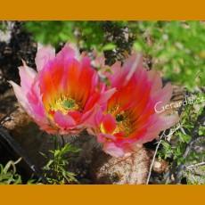 Echinocereus dasyacanthus GCG  10587 S of Fort Stockton, Tx. (500 SEEDS)